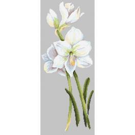 Předloha - Krásná amarylka